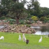 Kangaroos at Palm lake
