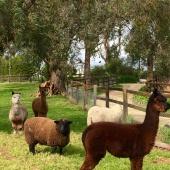 alpacas and sheep
